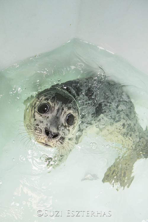 Harbor Seal<br /> Phoca vitulina<br /> Orphaned pup<br /> Alaska Sea Life Center, Seward, Alaska