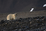 Female polar bear (Ursus maritimus) in Spitsbergen, Svalbard, Norway