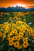 Flowers stretch out to the distant Teton range as the sun sets behind the mountains.