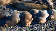 Northern elephant seals at Piedras Blancas elephant seal rookery, San Simeon, California USA