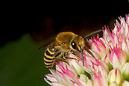 Ivy Bee - Colletes hederae - male feeding on sedum.