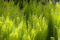 A drift of Royal Fern in a large walled garden, Norton Priory, Cheshire