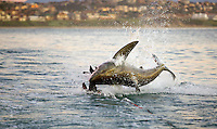 Great white shark (Carcharodon carcharias) breaching on rubber sea lion