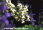 Peegee Hydranga, hydrangea paniculata grandiflora, Wyck, Germantown, Philadelphia gardens and arboretums, PA
