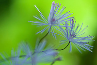 Thalictrum aquilegiifolium; French Meadow-rue, mountain area near Steg, Liechtenstein