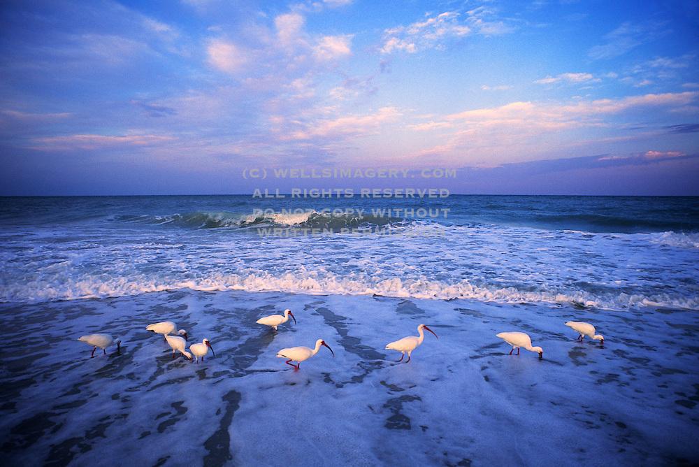 Image of white ibis (Eudocimus albus) wading at dawn off Sanibel Island, Florida, American Southeast