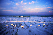 Image of white ibis (Eudocimus albus) wading at dawn off Sanibel Island, Florida, American Southeast