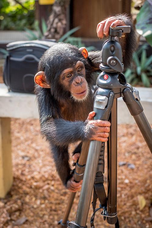 Chimpanzee (Pan troglodytes) curiously climbs a photographers tripod .Ganta Liberia