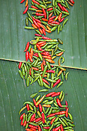 Chilli on a big leave ready for sell.