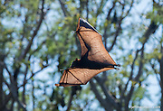 Image of a black flying fox in flight during the day on the Ord River in Australia.