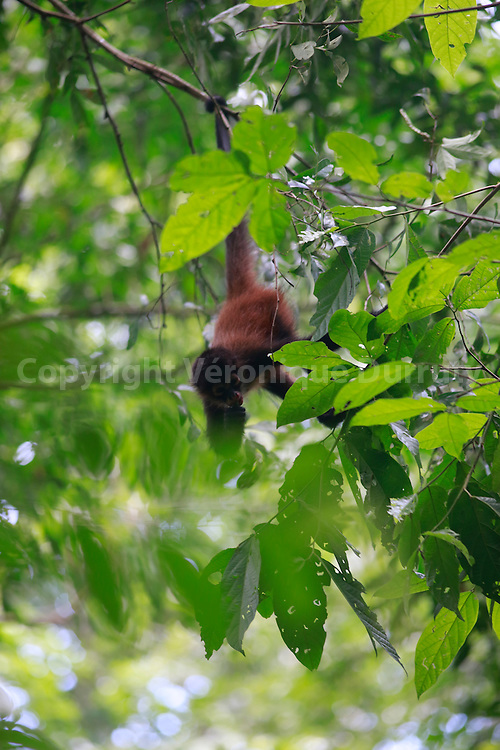 spider monkey, Corcovado National park, Costa Rica // singe araignee, Parc national Corcovado, Costa Rica