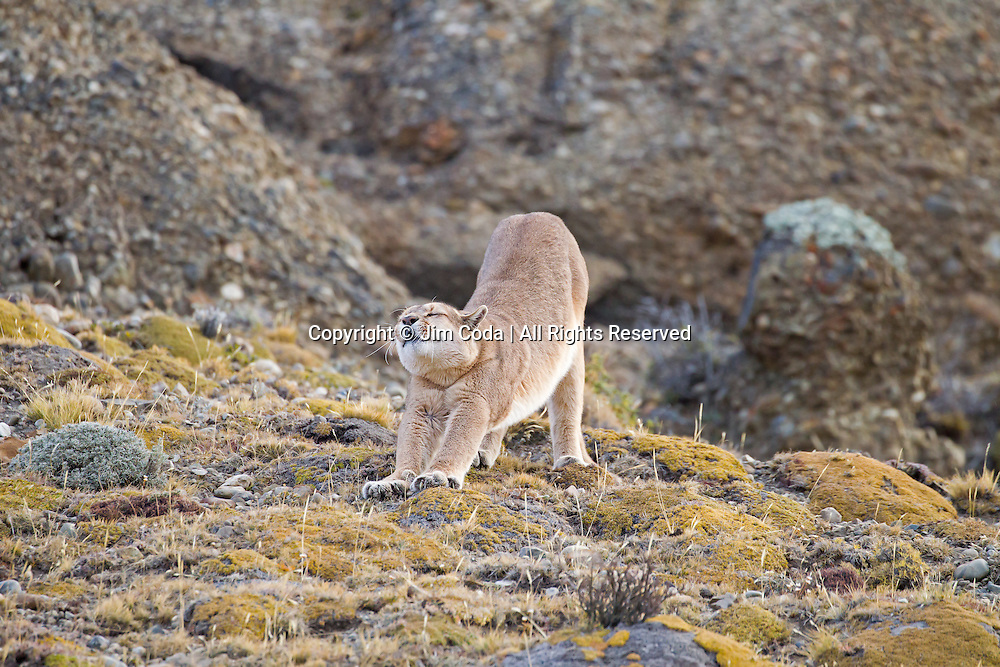 A puma stretches after a nap in Torres del Paine National Park