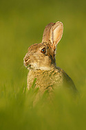 European Rabbit (Oryctolagus cuniculus) adult feeding in wheat field, South Norfolk, England, May.
