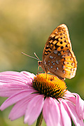 A macro shot of a Great Spangled Fritilary Butterfly (Speyeria cybele) on a coneflower.