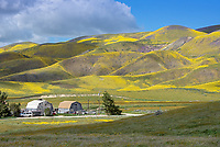 Carrizo Plains National Monument in California during a super wildflower bloom on April 4, 2019. A house and hillside covered in Goldfields and phacelia.