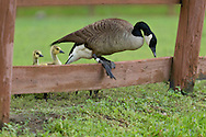 Middletown, New York - A Canada goose climbs over a fence as two goslings look on at Fancher-Davidge Park  on May 22, 2014.