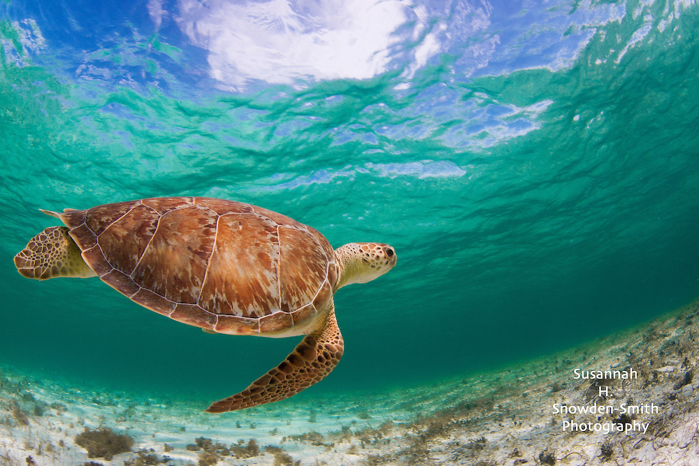 """When Turtles Fly"" - Grand Cayman: The sky and clouds are seen through the water as a turtle swims in the shallow sea at Spotts Beach."