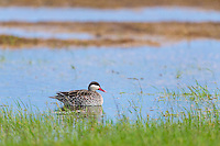 Red Billed Teal in a marshy wetland, Overberg, Western Cape, South Africa