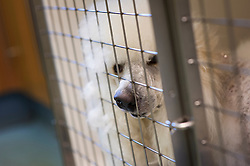 Standard poodle pushes his nose through the mesh of a recovering cage after keyhole surgery, Rushcliffe Veterinary Surgery, Nottingham, UK.