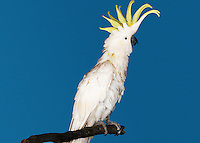 Cockatoo perching on blue background side view