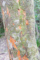 Lichens growing on a tree trunk, Garden Route National Park, Eastern Cape, South Africa