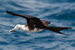 A juvenile Magnificent Frigatebird (Fregata magnificent) flies over the water with a stick in it's mouth, Galapagos Islands National Park, North Seymour Island, Galapagos, Ecuador
