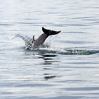 Central America, Costa Rica, Golfo Dulce. Pantropical Spotted Dolphin splashes down in the Golfo Dulce.