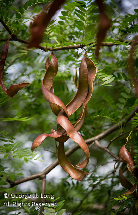 seed pods in tree near birthplace of Brother Andre in  Quebec, Canada