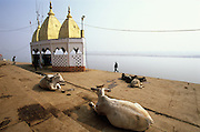 Cows resting on a ghat, a section of stairs, leading down to the holy Ganges River in Varanasi, India