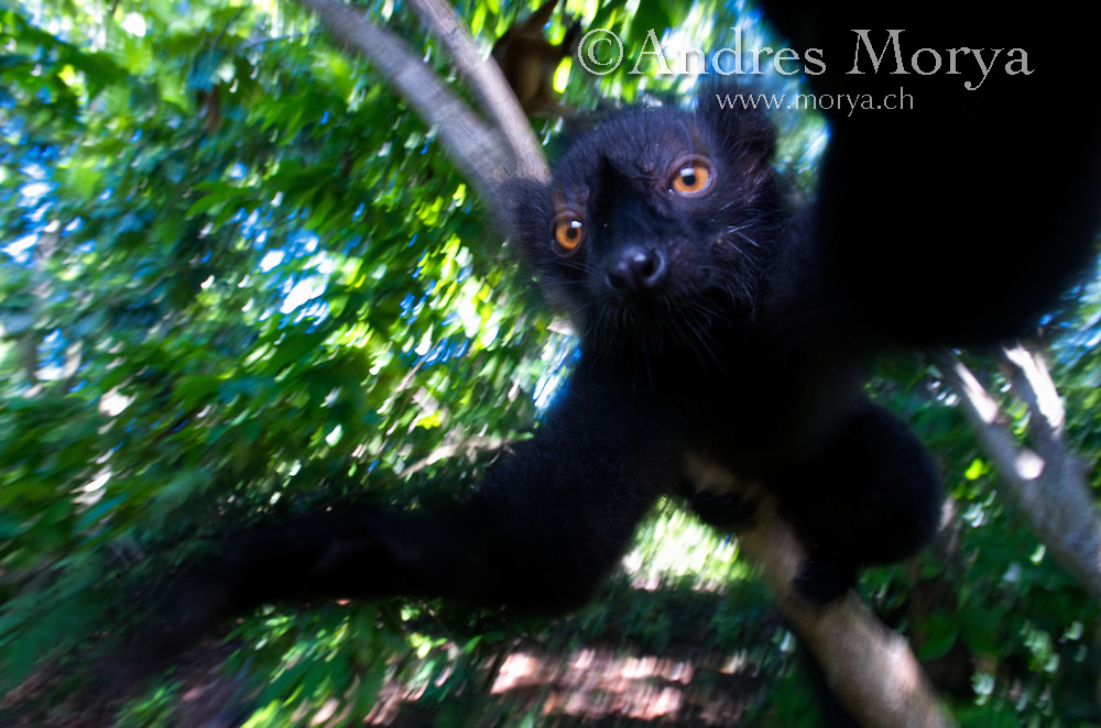 Black Lemur (Eulemur macaco macaco), male and female, Lokobe Nature Special Reserve, Nosy Be, Northern Madagascar Image by Andres Morya