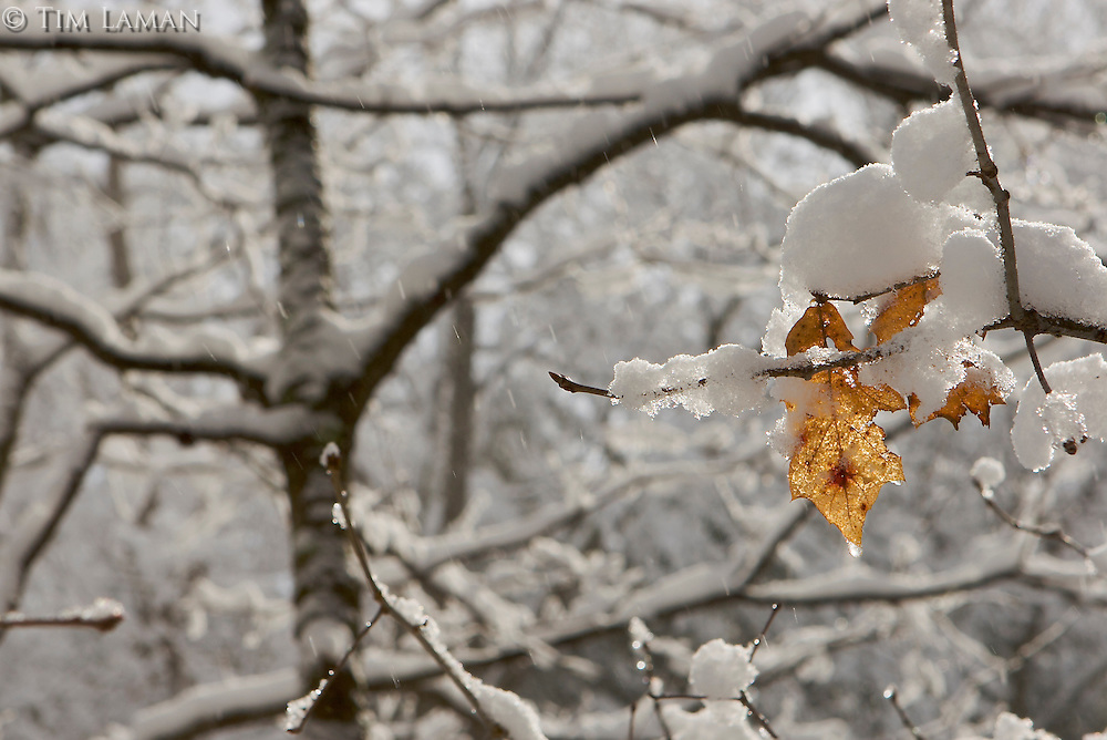 Snow covered trees with two leaves hanging on.