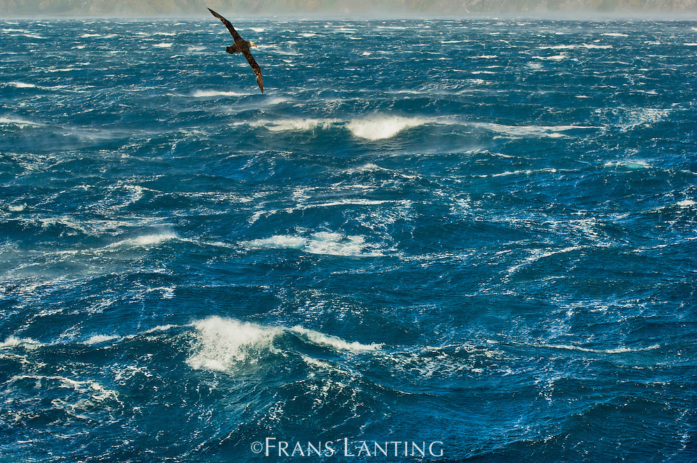 Giant petrel, Macronectes giganteus, in flight over stormy sea off South Georgia Island, Southern Ocean