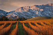 Cold late fall morning at Villa Maria's Marlborough Vineyard, South Island, New Zealand