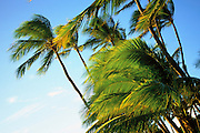 Coconut Palm Trees, Hawaii, USA<br />