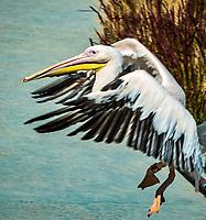 Pelican. <br /> Considere comme l'un des plus importants parcs ornithologiques en Europe, le Parc des Oiseaux presente une collection d'oiseaux exceptionnelle de plus de 3000 individus, representant pres de 300 especes originaires de tous les continents.<br /> Exclusivites: Le spectacle d'oiseaux en vol, tous les jours, est un veritable festival de couleur