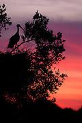EN.- White Stork, Ciconia ciconia, on top of nest at dusk. Doñana National Park, Andalucia, Spain..ES.- Cigüeña blanca, Ciconia ciconia, sobre su nido al atardecer.  Parque Nacional de Doñana, Andalucía, España.