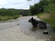 A Blue Heeler enjoys a small stream, Carter Canyon, Mint Spring Trail, Sonoran Desert, Coronado National Forest, Santa Catalina Mountains, Mount Lemmon, Arizona, USA.