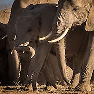 Amboseli Elephants<br />