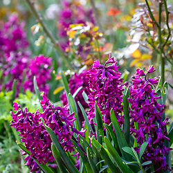 Hyacinthus orientalis 'Woodstock' - hyacinth - with rose foliage