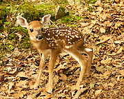 New Fawn
