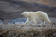 Polar Bear (Ursus maritimus) on the summer Arctic tundra