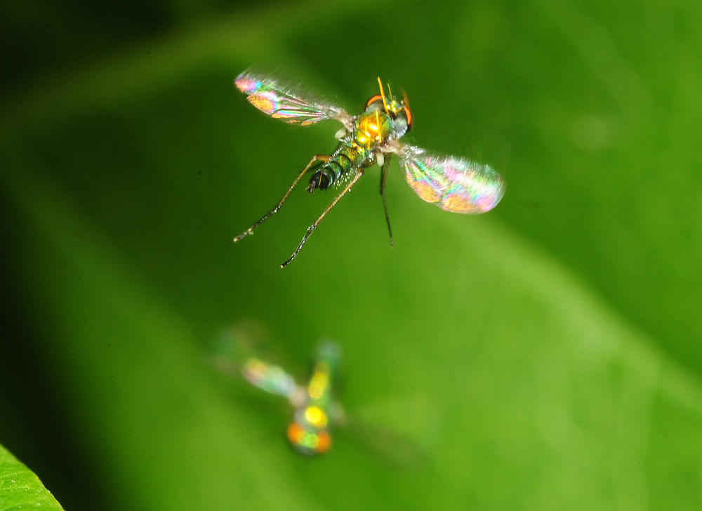 Insects in flight.