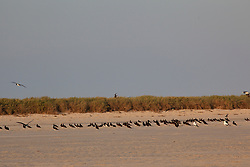 A flock of Brown Boobies rest on Adele Island, a major bird rookery on the Kimberley coast.