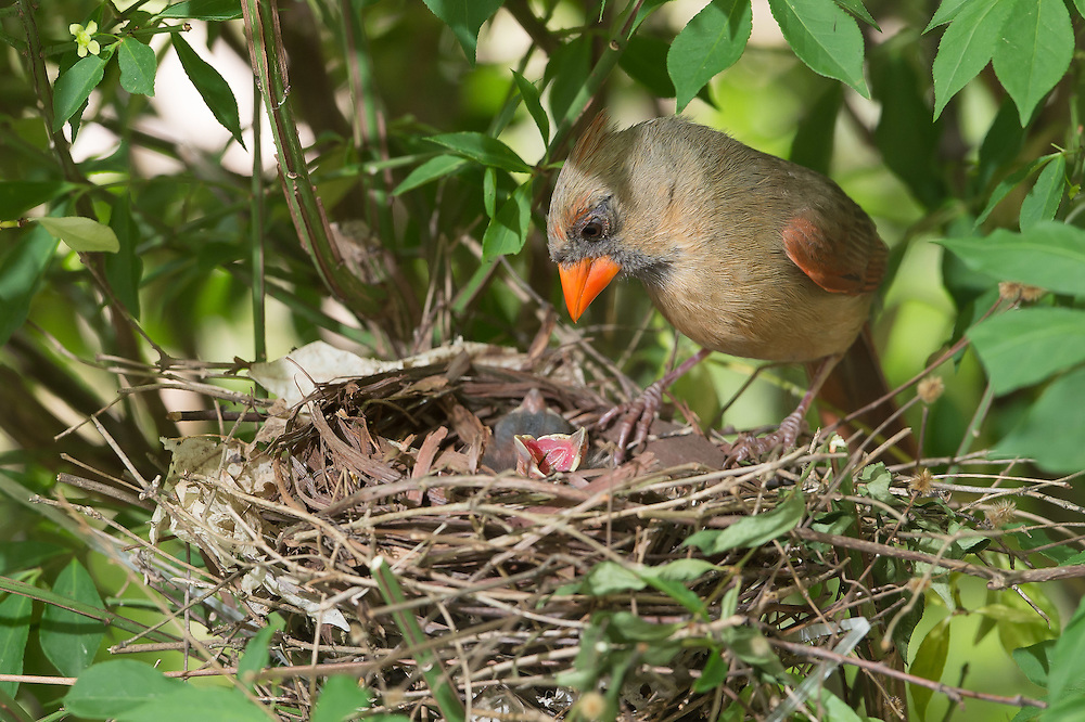 Female cardinal inspects placement of small worm