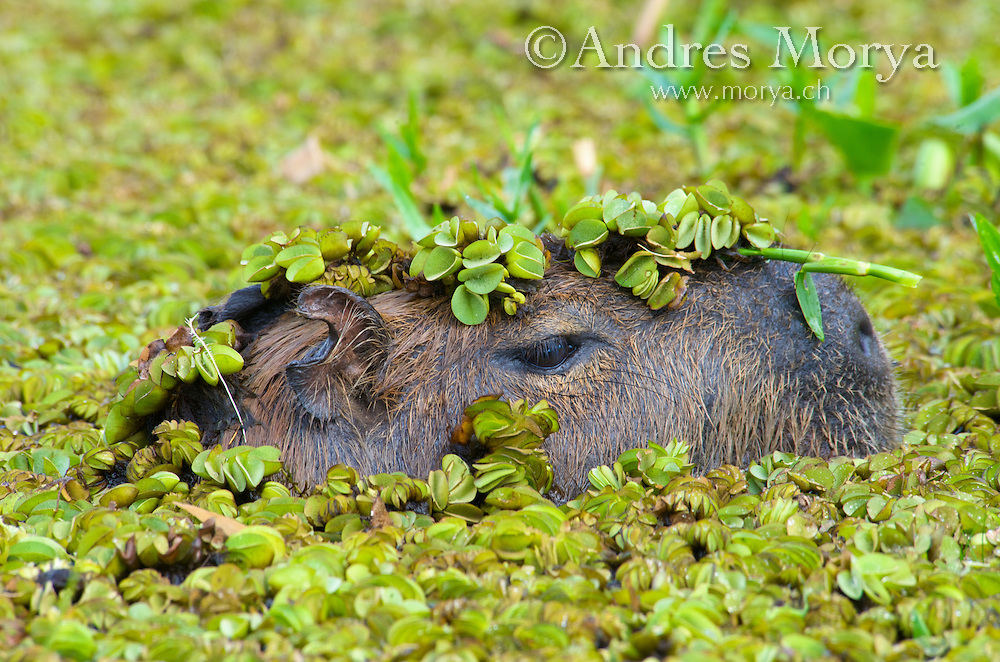 Capybara (Hydrochoerus hydrochaeris), Corrientes, Argentina. Is the largest living rodent in the world. Capybara are semi-aquatic mammals found wild in much of South America. Capybaras are herbivores, grazing mainly on grasses and aquatic plants. Image by Andres Morya