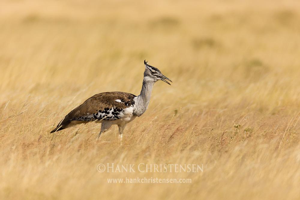 A kori bustard stalks through the tall grass of a savanna, Etosha National Park, Namibia.