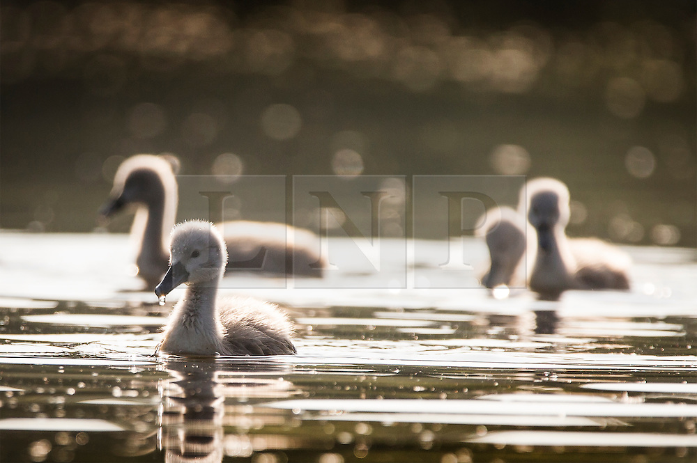 © Licensed to London News Pictures. 06/06/2016. Leeds UK. A Cygnet's enjoy the warm weather this morning at Golden Acre park in Leeds on another beautiful day in Yorkshire. Photo credit: Andrew McCaren/LNP