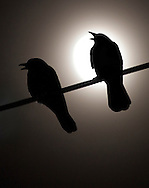 Middletown, New York - Crows perch on a utility wire as the nearly full moon shines in the background on Dec. 4, 2014.