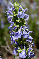 Engelmann's Salvia, Salvia engelmaniim, Medina County, TX.