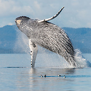A 60,0000 pound humpback whale flings it's weight skyward before making a giant splash, in Blackfish Sound, British Columbia, Canada. The whale was likely signaling her calf, because shortly afterword a younger whale appeared on the horizon and made it's way over. The two the swam away together, hugging the kelp forests, possibly in fear of killer whales.